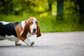 Cute dog Basset hound walking on the road Stock Images