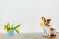 Cute dog with bunny ears hold in his teeth tulip flower on light Royalty Free Stock Photo