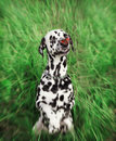 Cute dog with a butterfly on his nose -- toned and radial blurred Royalty Free Stock Photo