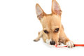 Cute dog chewing on toothbrush Royalty Free Stock Photo