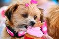 Cute Dog Eating Birthday Cupcake Royalty Free Stock Photo
