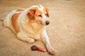 Cute dog eating bone Royalty Free Stock Photo