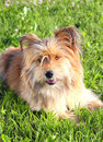 Cute dog fluffy lying on the grass Stock Photography