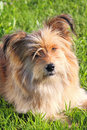 Cute dog fluffy lying on the grass Stock Images