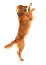 Cute dog jumping isolated over a white backgorund Royalty Free Stock Photo