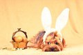 Cute dog like easter bunny lying portrait with eggs in golden basket retro photo effect Royalty Free Stock Photos