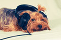 Cute dog listen to music with big black headphones and looking at camera Royalty Free Stock Images