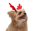 Cute dog looking up mixed breed with christmas red antler in white background with clipping path Royalty Free Stock Images