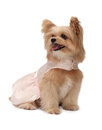 Cute dog in pink dress mixed breed isolated white background with clipping path Stock Photo