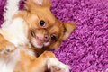 Cute dog playing on the carpet a playful standing to get cuddled by his master a purple Royalty Free Stock Photography