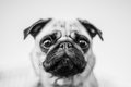Cute dog portrait mops black and white photo funny Stock Images
