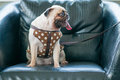 Cute dog pug sit on black leather sofa. Royalty Free Stock Photo