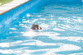A cute dog pug swim at a local public pool float puppy relax Stock Photos