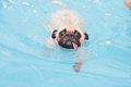 A cute dog pug swim at a local public pool with tongue jump in the deep end Royalty Free Stock Photo