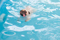 A cute dog Pug swim at a local public pool with tongue Royalty Free Stock Photo