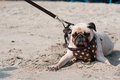 Cute dog pug wink eye fear and afraid water sea beach when people try to pull pug to play swim on sand Royalty Free Stock Photo