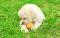 Cute dog puppy Labrador Retriever lying playing with rubber ball Royalty Free Stock Photo
