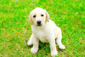 Cute dog puppy Labrador Retriever is sitting on green grass Royalty Free Stock Photo