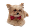 Cute dog with red ribbon mixed breed bow tie looking isolated in white background clipping path Royalty Free Stock Images