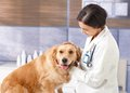 Cute dog at veterinarian young examining golden retriever pets clinic Royalty Free Stock Photos