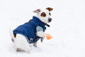 Cute dog wearing blue warm jacket on snow Royalty Free Stock Photo