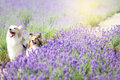 Cute dogs in the Lavender field