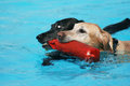 Cute dogs at a pool Stock Image