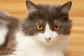 Cute domestic cat with yellow eyes and white gray fur Stock Photos