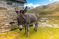 Cute donkey eating grass in mountain landscape Royalty Free Stock Photo
