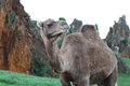 Cute dromedary closeup in the outdoors Stock Photography