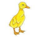 Duckling Cartoon Vector