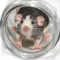 Cute dumbo rat in a glass jar Stock Images