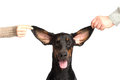 Cute ears of dobermann dog isolated on white Royalty Free Stock Photo