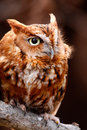 Cute Eastern Screech Owl Red Phase Royalty Free Stock Image