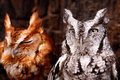 Cute Eastern Screech Owls Red and Gray Phases Royalty Free Stock Photo