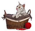 Cute Egyptian Mau cat in a basket Royalty Free Stock Images