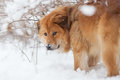 Cute Elo dog in the snow Stock Image