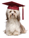 Cute eminent graduation havanese dog wit red cap beautiful proud chocolate with isolated on white background Stock Images