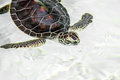 Cute endangered baby turtle swimming in crystal clear water Stock Photography