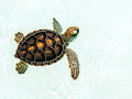 Cute endangered baby turtle swimming in crystal clear water Royalty Free Stock Photo