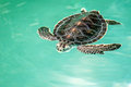 Cute endangered baby turtle swimming in turquoise water Stock Photos