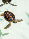 Cute endangered baby turtles swimming in crystal clear water Royalty Free Stock Photos