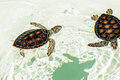 Cute endangered baby turtles swimming in crystal clear water Royalty Free Stock Photography