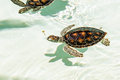 Cute endangered baby turtles swimming in crystal clear water Royalty Free Stock Image