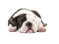Cute english bulldog puppy dog sound asleep with eyes closed Royalty Free Stock Photo