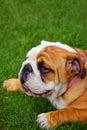Cute english bulldog puppy Royalty Free Stock Photo