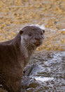 Cute expression of a smooth coated otter Lutrogale perspicillata at Penang Island. Closeup of nature in Malaysia by Jason Crook. Royalty Free Stock Photo