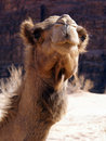 Cute face of camel Stock Images