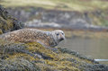 Cute Face of a Harbor Seal Royalty Free Stock Photo