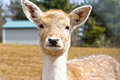 Cute fallow deer a young comes in for a close up portrait shot at an animal park or petting zoo Royalty Free Stock Photos